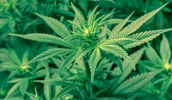Why Marijuana is Considered a Benefit to Human Health