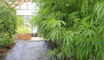Hemp and Marijuana Constraints Not Dying Fast Enough