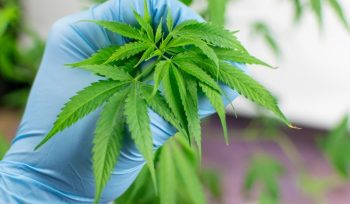 Pot cultivation is where cannabis staff can earn the most significant salaries