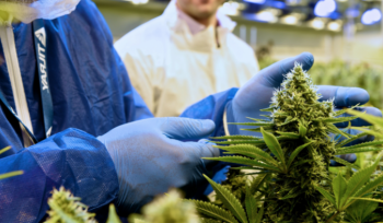 For the very first time, North america gets acceptance to deliver weed for analysis to the U.S.