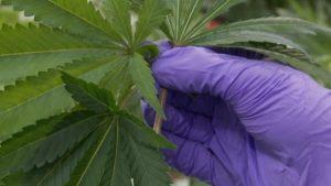 Business Employers Want Ottawa's Help Package With Marijuana Smoking Workers