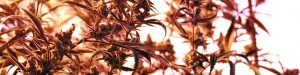 Distressed Asset Discounts: What Goes on Whenever a Cannabis Start-Up Fails