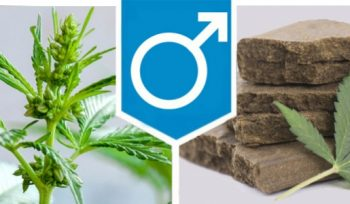 What To Do With The Men Marijuana Plant?