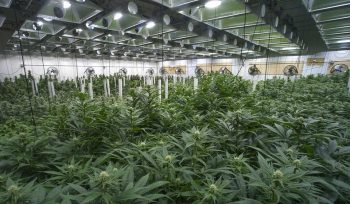 Traffic monitoring America's Cannabis Industry Through Big Data
