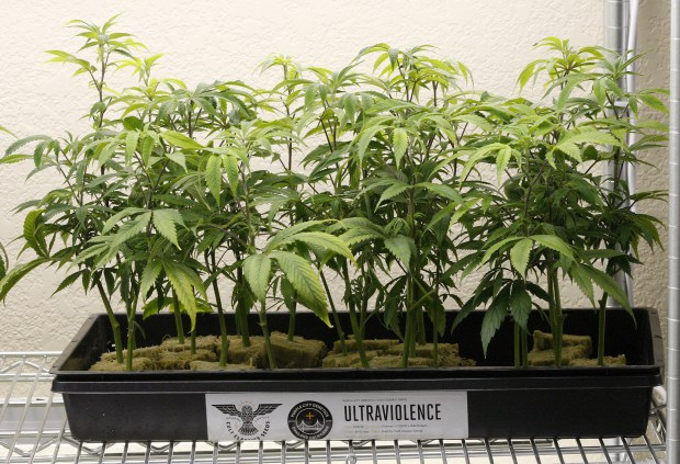 Only one in seven Florida places allow leisurely weed stores
